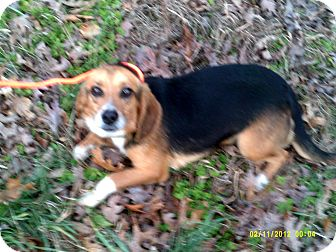 Beagle Mix Dog for adoption in Dundas, Virginia - Benji