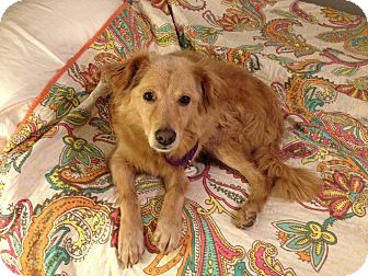 Golden Retriever Mix Dog for adoption in Salem, New Hampshire - Bubbles