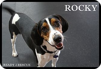 Coonhound Dog for adoption in Rockwall, Texas - Rocky