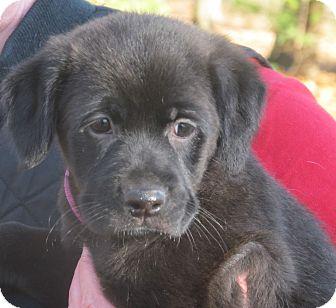 Labrador Retriever Mix Puppy for adoption in Washington, D.C. - Delaney