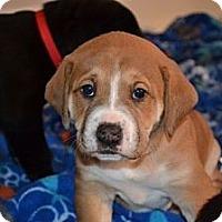 Adopt A Pet :: Juliette - Portland, ME