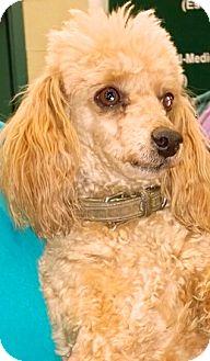 Poodle (Miniature) Mix Dog for adoption in Thousand Oaks, California - Byron