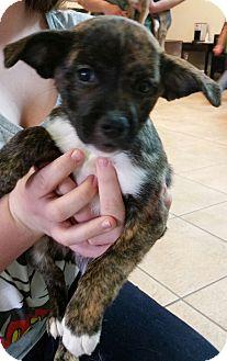 Shepherd (Unknown Type)/Labrador Retriever Mix Puppy for adoption in Phoenix, Arizona - Rachel