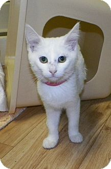 Domestic Shorthair Kitten for adoption in Dover, Ohio - Cassie