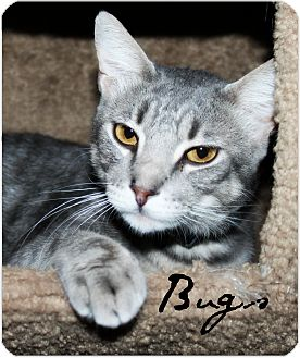 Domestic Shorthair Cat for adoption in McKinney, Texas - Bugs