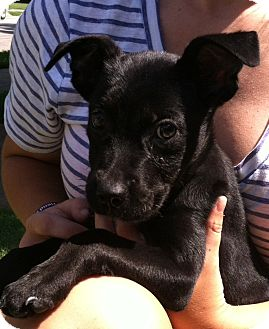 Fox Terrier (Smooth)/Labrador Retriever Mix Puppy for adoption in CHAMPAIGN, Illinois - JONAS