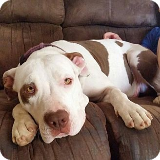 Pit Bull Terrier Mix Dog for adoption in Temecula, California - Cookie