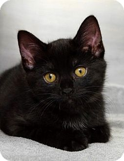 Domestic Shorthair Kitten for adoption in Dublin, California - Angel