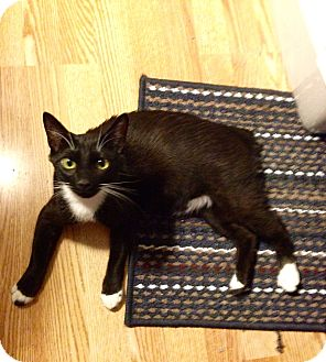 Manx Cat for adoption in Simpsonville, South Carolina - Shawn