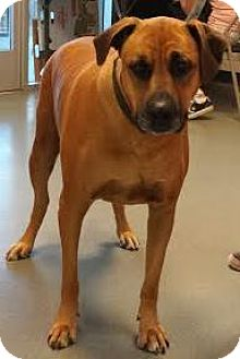 Mastiff/Rhodesian Ridgeback Mix Dog for adoption in Westminster, California - Ethel