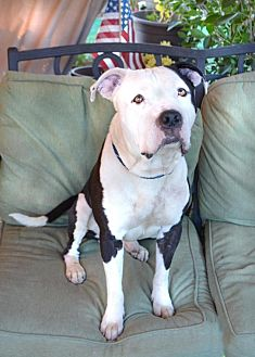 American Staffordshire Terrier Mix Dog for adoption in Toluca Lake, California - Lance