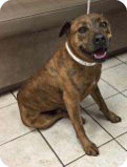 Labrador Retriever Mix Dog for adoption in Las Vegas, Nevada - Bowser