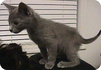 Domestic Shorthair Kitten for adoption in Fayetteville, Georgia - Goober