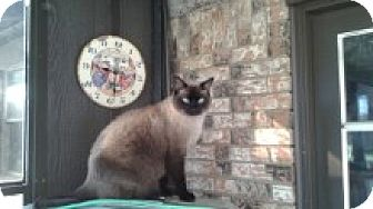 Siamese Cat for adoption in Arlington/Ft Worth, Texas - Sinsin
