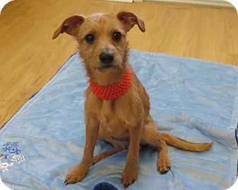 Border Terrier/Fox Terrier (Wirehaired) Mix Puppy for adoption in High Point, North Carolina - Ash
