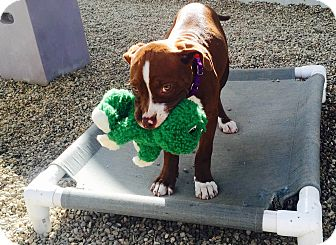 American Staffordshire Terrier/Pit Bull Terrier Mix Puppy for adoption in Los Angeles, California - Simone