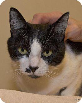 Domestic Shorthair Cat for adoption in Bellingham, Washington - Clover