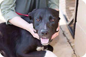 Labrador Retriever/Mixed Breed (Medium) Mix Dog for adoption in Boonsboro, Maryland - Matilda
