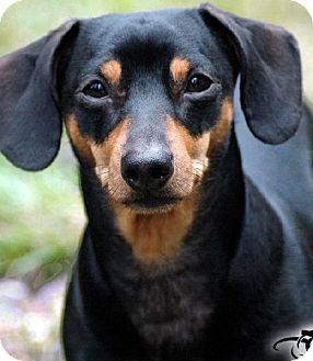 Dachshund Dog for adoption in Tacoma, Washington - Roscoe