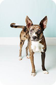 Cattle Dog/Cattle Dog Mix Dog for adoption in Hendersonville, North Carolina - Lesley Knope