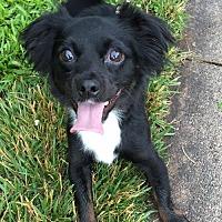 Adopt A Pet :: Arrow - Southeastern, PA