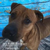 Adopt A Pet :: Coach - Land O'Lakes, FL