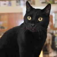 Domestic Shorthair/Domestic Shorthair Mix Cat for adoption in Rochester, Minnesota - Puckett
