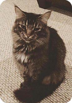 Maine Coon Cat for adoption in Raleigh, North Carolina - Zira