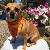 Dachshund/Chihuahua Mix Dog for adoption in Elk Grove, California - AZMIRI