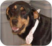 Rottweiler Dog for adoption in Oswego, Illinois - LANI