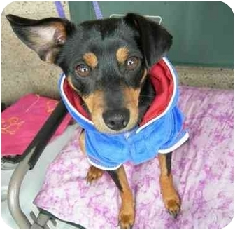 Manchester Terrier/Terrier (Unknown Type, Small) Mix Dog for adoption in Vista, California - Ziggy