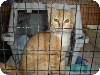 American Shorthair Kitten for adoption in McIntosh, New Mexico - P'nut Butter