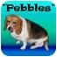 Photo 2 - Beagle Dog for adoption in Portland, Oregon - Pebbles