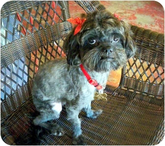 Poodle (Toy or Tea Cup)/Maltese Mix Dog for adoption in Los Angeles, California - DINKIE