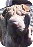Shar Pei Puppy for adoption in Genoa, Ohio - Ruffles