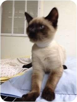 Siamese Kitten for adoption in St. Louis, Missouri - Romeo