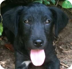Labrador Retriever/Australian Cattle Dog Mix Puppy for adoption in Tahlequah, Oklahoma - Simon