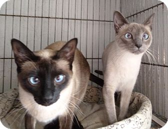 Siamese Cat for adoption in Milton, Massachusetts - Lucy