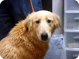 Golden Retriever/Great Pyrenees Mix Dog for adoption in Manassas, Virginia - Julie ll