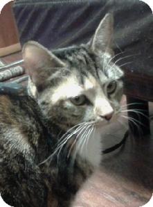 Domestic Shorthair Cat for adoption in Medford, Massachusetts - Eliza - Courtesy Post