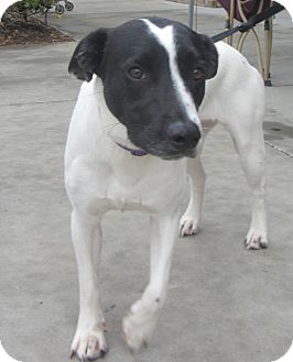 Fox Terrier (Smooth)/Hound (Unknown Type) Mix Dog for adoption in Lincolnton, North Carolina - Freckles