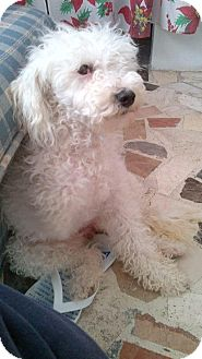 Poodle (Miniature) Mix Dog for adoption in San Diego, California - Minnie