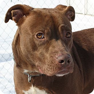 American Pit Bull Terrier Mix Dog for adoption in Lyons, New York - Xena