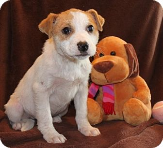Labrador Retriever/Cattle Dog Mix Puppy for adoption in Salem, New Hampshire - Chrissy