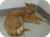Domestic Shorthair Cat for adoption in Silver City, New Mexico - Tsarmina