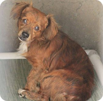 Cocker Spaniel/Dachshund Mix Puppy for adoption in Spanaway, Washington - Binky