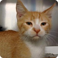 Domestic Shorthair Cat for adoption in Miami, Florida - Hunter