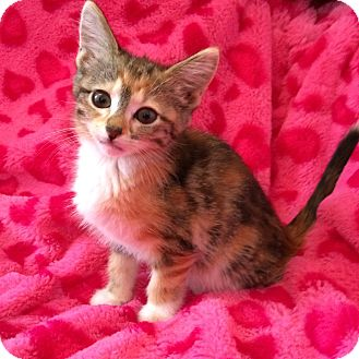 Maine Coon Kitten for adoption in Nashville, Tennessee - Snickers