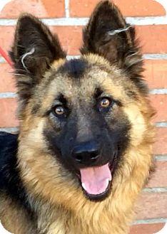 German Shepherd Dog Puppy for adoption in Los Angeles, California - DAPHNE (video)