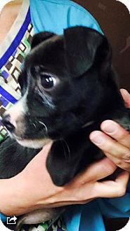 Boxer Mix Puppy for adoption in Barnegat, New Jersey - Lizzie